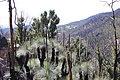 Blackened Grasstrees Thriving - panoramio.jpg