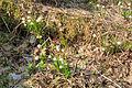 Bledule jarní v PR Králova zahrada 42.jpg
