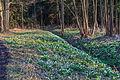 Bledule jarní v PR Králova zahrada 66.jpg