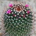 Blooming Cactus (10408501674).jpg