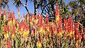 Blooming aloes, Huntington.jpg