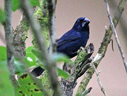 Blue-black Grosbeak CW.jpg