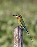 Blue-tailed bee-eater (Merops philippinus).jpg