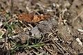 Blue-winged Grasshopper - Oedipoda caerulescens (20677340940).jpg
