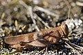 Blue-winged Grasshopper - Oedipoda caerulescens (21014810426).jpg