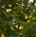 Blue-winged Leafbird (Chloropsis cochinchinensis) W IMG 1203.jpg