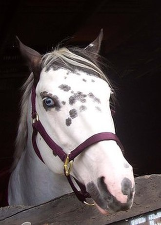 "Tovero - A tovero horse with blue eyes and ""Medicine hat"" markings."