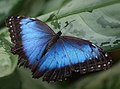Blue Morpho (15146309852).jpg