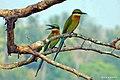 Blue Tailed Bee Eater (വലിയവേലിത്തത്ത) (8708742531).jpg