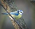 Blue tit (32296555171).jpg