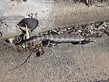 Blue tongue lizard in kerb next to 4 inch stormwater pipe showing scale. Location Farrer, Canberra, Australia