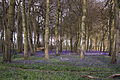 Bluebells, Nuffield Place (6938103538).jpg