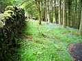 Bluebells in Kirroughtree Forest - geograph.org.uk - 431766.jpg