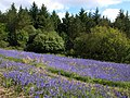 Bluebells on Easdon Down (3) - geograph.org.uk - 1333569.jpg