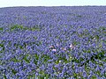 Bluebells on Skomer Island - geograph.org.uk - 946098.jpg