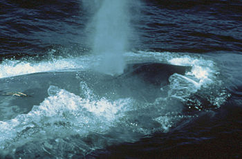 The blow of a blue whale