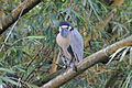 Boat-billed Heron (Cochlearius cochlearius) (5772432732).jpg