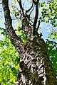Boholiuby Lutskyi Volynska-Pershotravnevyi park-Phellodendron amurense-1.jpg
