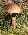 Boletaceae Haukipudas Oulu 20130824.JPG