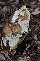 Boletus reticulatus (27473724394).jpg