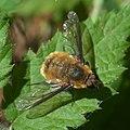 Bombylius P1050902a.jpg