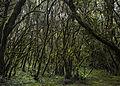 Bosque Encantado, Parque nacional de Garajonay, La Gomera, España, 2012-12-14, DD 14.jpg