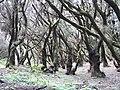 Bosque de El Cedro - panoramio.jpg