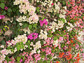 Bougainvillea wall.jpg