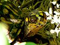 Box turtle head terrapene carolina.jpg