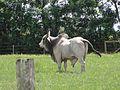 Brahman cattle 3.JPG