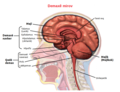 Brain Anatomy (Sagittal) ku.png