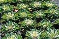 Brassica oleracea Coral Prince 2zz.jpg