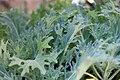 Brassica oleracea Peacock White 0zz.jpg