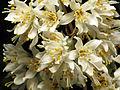 Bridal Wreath (15493257055).jpg