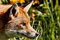British Wildlife Centre Wildlife (30605890895).jpg