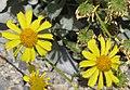 Brittlebush Encelia farinosa flowers close.jpg