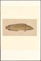 Brosmius brosme - 1856-1939 - Print - Iconographia Zoologica - Special Collections University of Amsterdam - UBA01 IZA1000764.tif