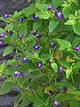 Browallia viscosa 'Amethyst' — Scott Zona 002.jpg
