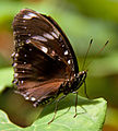 Brown Butterfly (8012454896).jpg