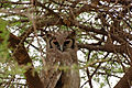 Bubo lacteus -Tarangire National Park, Tanzania-8.jpg