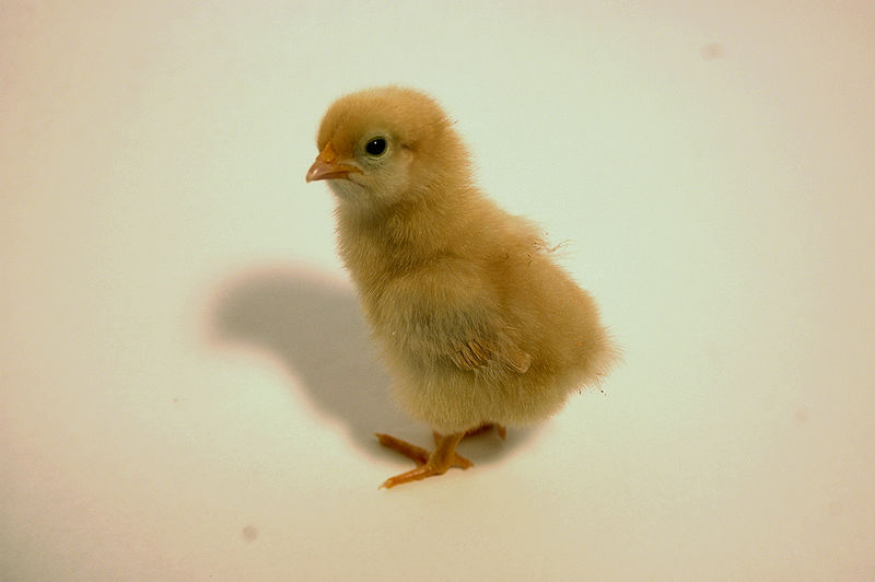 File:Buff Orpington chick.jpg
