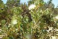 Buisson de fleurs blanches.jpg