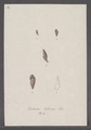 Bulimus lubricus - - Print - Iconographia Zoologica - Special Collections University of Amsterdam - UBAINV0274 088 11 0013.tif