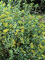 Bupleurum fruticosum (aka).jpg