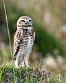 Burrowing owl a IB - Lip Kee.jpg
