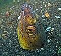 Burrowing snake eel - Pisodonophis cancrivoris.jpg