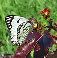 Butterfly feeding on Jatropha gossypiifolia (6693912935).jpg