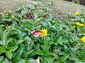 Butterfly on a flower 01.jpg