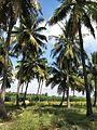COCONUT TREE.jpg