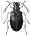 COLE Aderidae Xylophilus nitidus.png